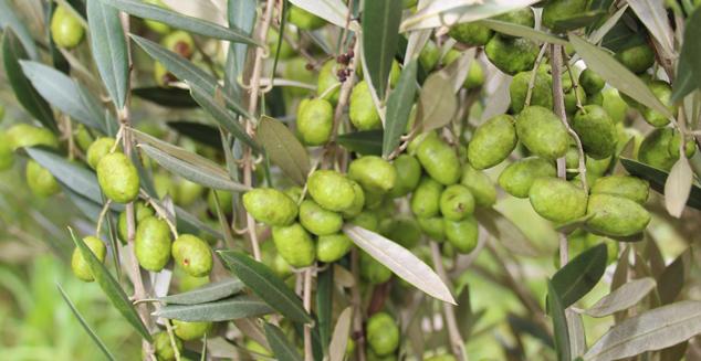 Olivicultura será um dos temas no Frutifica Minas em Maria da Fé. Foto: Erasmo Reis - EPAMIG