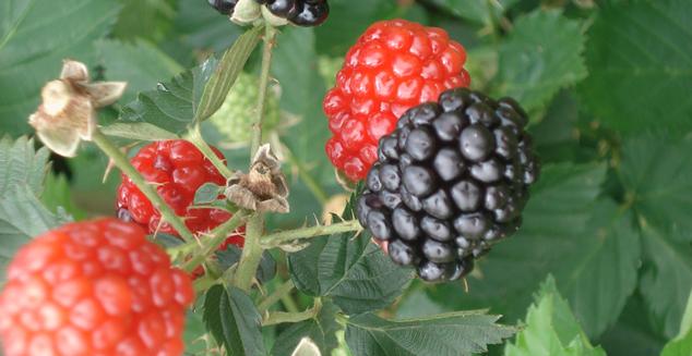 Cultivo de pequenas frutas é opção para diversificação da produção. Foto: Emerson Gonçalves -EPAMIG