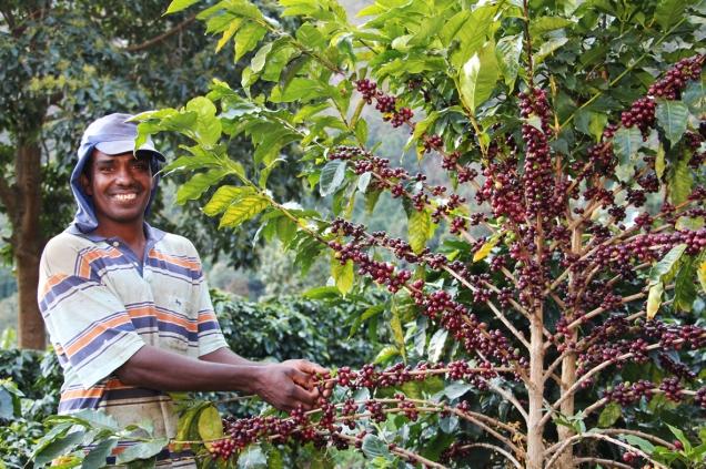 Colheita de café pode ocorrer mais cedo devido ao clima - Foto Erasmo Reis