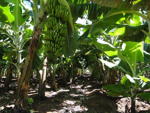 Curso irá mostrar irirgação por microaspersão em bananal- Foto Kellson Toletino-EPAMIG