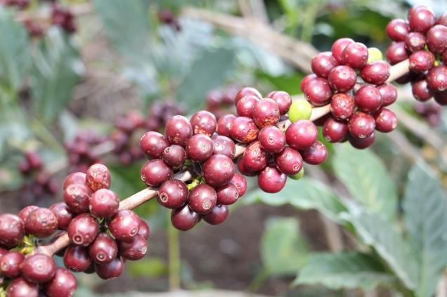 3522 - Dentre os fatores ambientais da região destaca-se o clima favorável à produção de cafés - Foto Erasmo Pereira