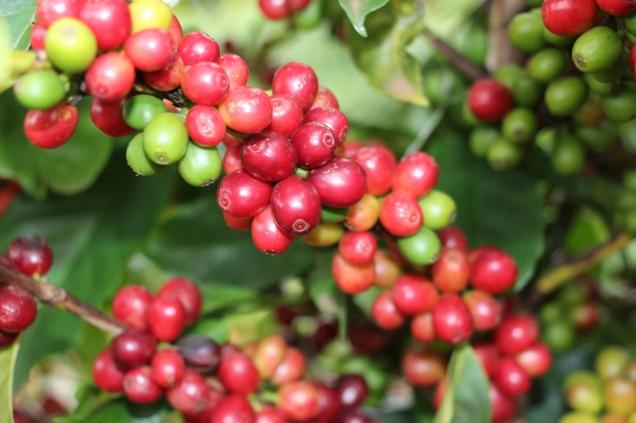 8152 - Cultivar de café Catiguá 3 - pesquisa mineira desenvolveu mais de 15 variedades de café para o clima e solo de Minas Gerais - Foto Samantha Mapa