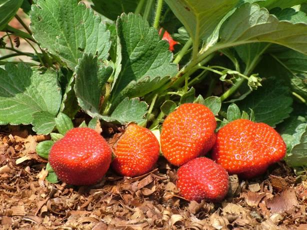 Morango orgânico é um dos artigos da nova edição da revista. Minas destaca-se como maior produtor nacional de morango. Foto Mário Sérgio-EPAMIG