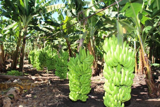 9473 - Norte de Minas produz mais de 50% da banana produzida no Estado. Foto Erasmo Pereira-EPAMIG