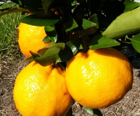 Tangerina ponkan fruto sadio blog