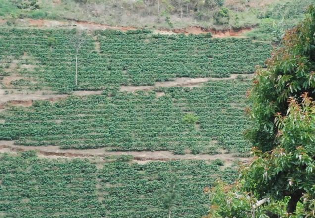 dsc_0613-pesquisa-participativa-melhorou-a-producao-de-cafe-organico-em-area-ingreme-foto-fernanda-fabrino