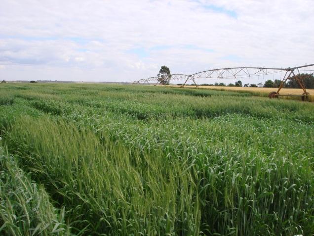 pesquisa-busca-cultivares-de-trigo-adaptadas-ao-clima-e-solo-de-minas-gerais-foto-mauricio-coelho-epamig