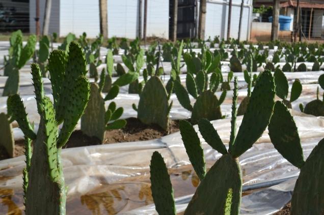 DSC_0163 - Banco de germoplasma da palma forrageira implantado no Norte pode contribuir para a disseminação dessa planta fonte de alimentação do rebanho