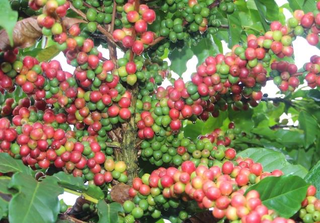 IMG_6460- Araponga 2 - apresentada no encontro para cafeicultura do cerrado