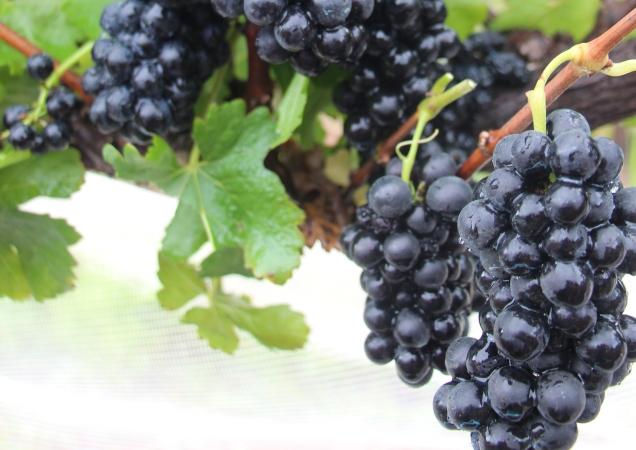1º Frutisul vai abordar potencial do Sul de Minas Gerais para a produção de vinhos finos de qualidade