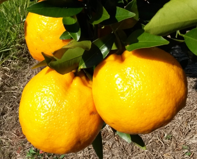 Tangerina ponkan fruto sadio
