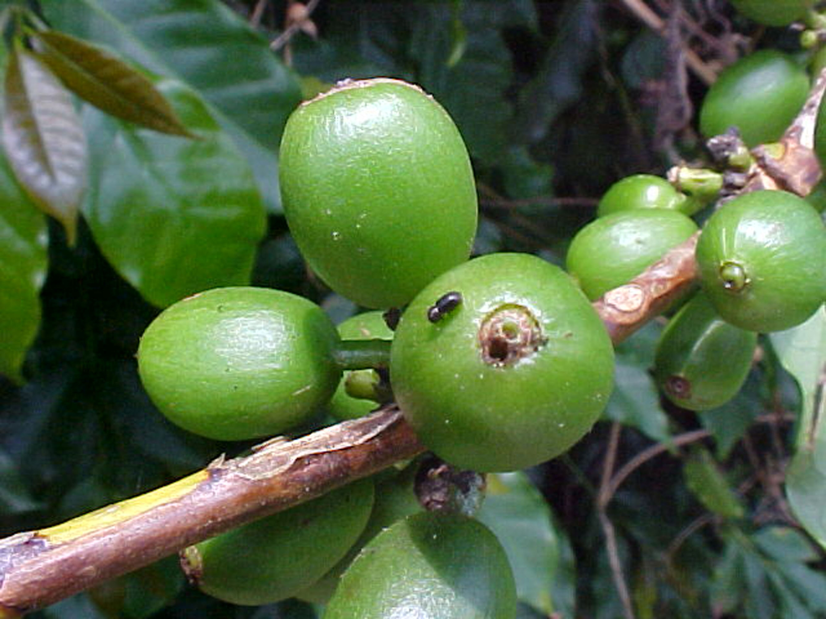 Controle da broca do caf ser destaque em evento em s o sebasti o do para so epamig