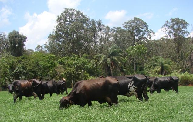 gado f1 - fazenda experimental santa rita - crédito erasmo pereira