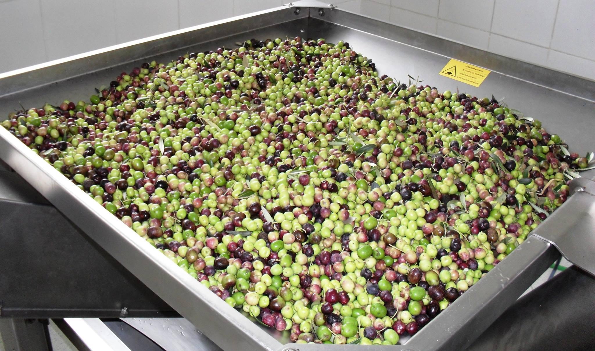 1º dia de extração de azeite no Campo de Maria da Fé - 29.01.16-Amanda Lopes
