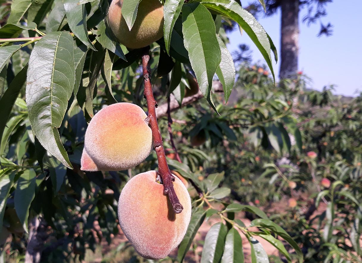 Pêssego é uma fruta típica de regiões de clima temperado - Foto Pedro Moura