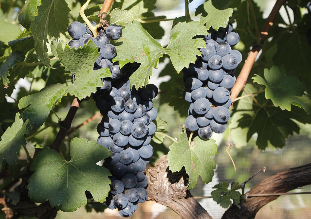 Evento online discute irrigação e viticultura de precisão