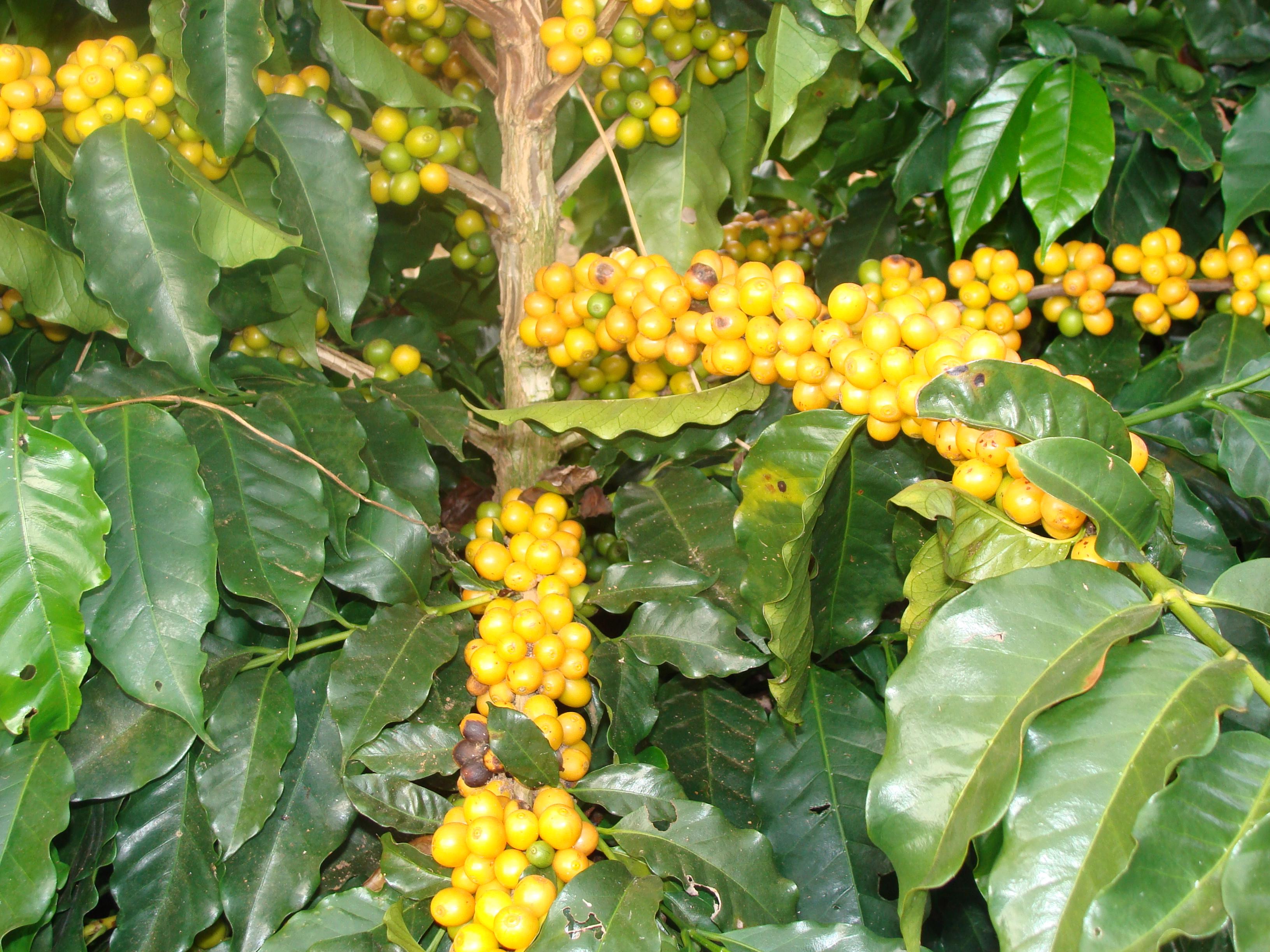 Mesmo fraco, La Niña mantem o tempo seco o que favorece a colheita do café