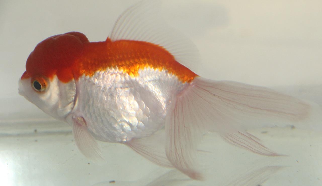 Centro de Referência em Piscicultura Ornamental da EPAMIG dá início à preparação para o período de reprodução dos peixes