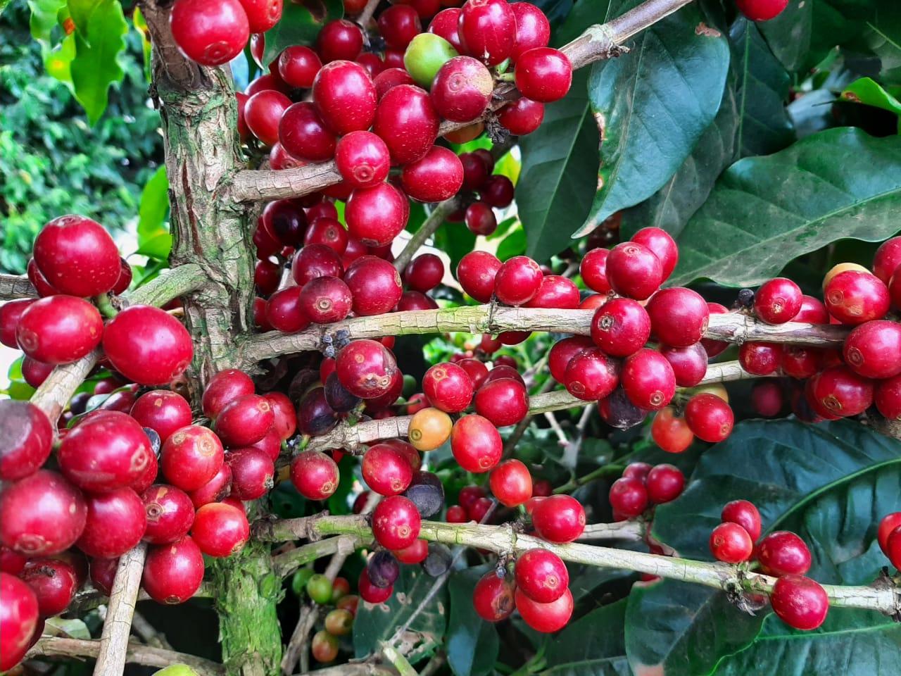 EPAMIG apoia Dias de Campo online sobre cafeicultura da Fundação Procafé