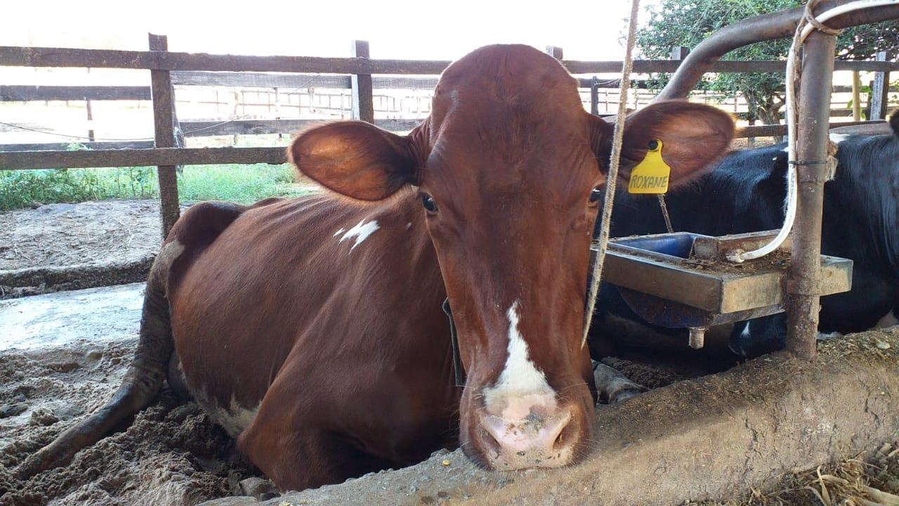 Pesquisa com apoio da EPAMIG confirma que óleos essenciais melhoram eficiência alimentar de vacas leiteiras